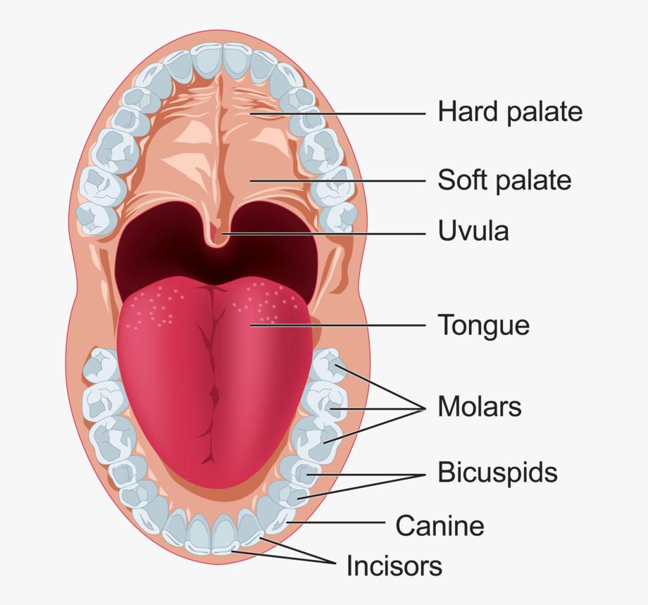 آناتومی دهان و دندان